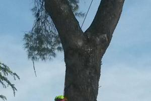 Felling pinus pinea